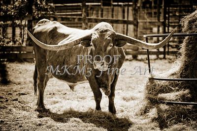 Texas Longhorn Bull for Breeding in  Sepia 3089.01