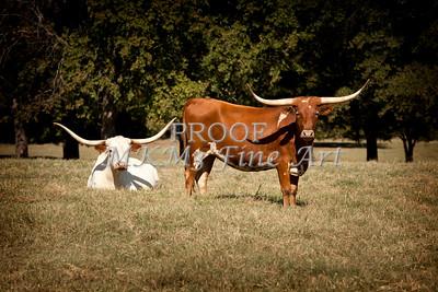 Texas Longhorn Cattle Relaxing in a Field in Color 3098.02