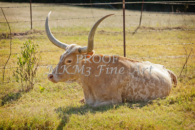 Texas Longhorn Cattle Resting in a Field in Color 3099.02