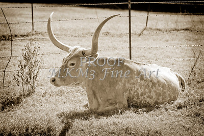 Texas Longhorn Cattle Resting in a Field in Sepia 3099.01