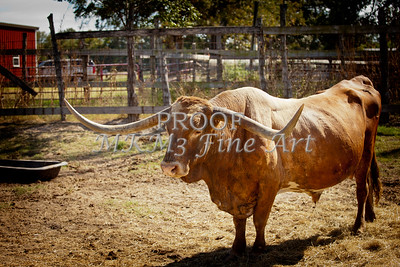 Texas Longhorn Bull Side View in  Color 3091.02