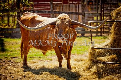 Texas Longhorn Bull for Breeding in  Color 3089.02
