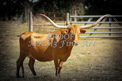 Texas Longhorn Cattle in a Pasture in Color 3094.02