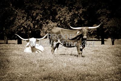 Texas Longhorn Cattle Relaxing in a Field in Sepia 3098.01