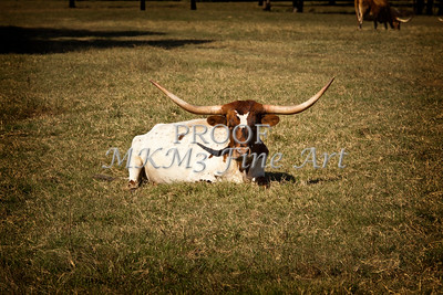 Texas Longhorn Cattle Relaxing in a Pasture in Color 3097.02