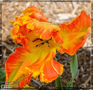 Parrot Tulips - May 2014