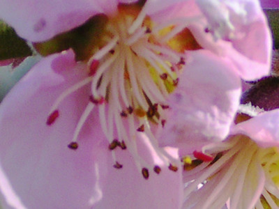 Peach Blossom by Richard Lazzara