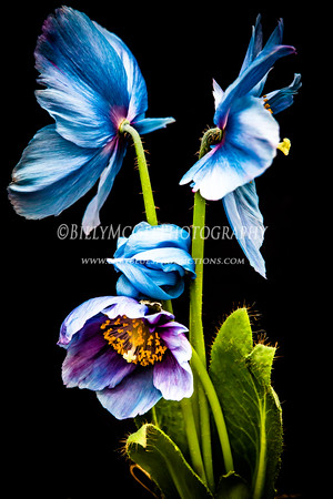 Himalayan Blue Poppies - 30 Mar 2014