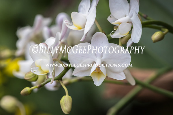 Longwood Gardens Orchid Display - 28 Jan 2017