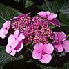 Hydrangea-Macrophylla- Tokyo-Delight-(Lacecap Group)<br /> Bigleaf-Hydrangea - IMG-2160