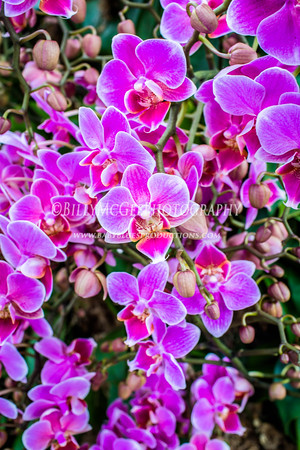 Longwood Garden Orchids - 01 Feb 2015