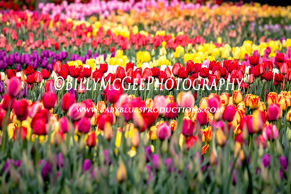 Tulips at Longwood Gardens - 26 Apr 2015