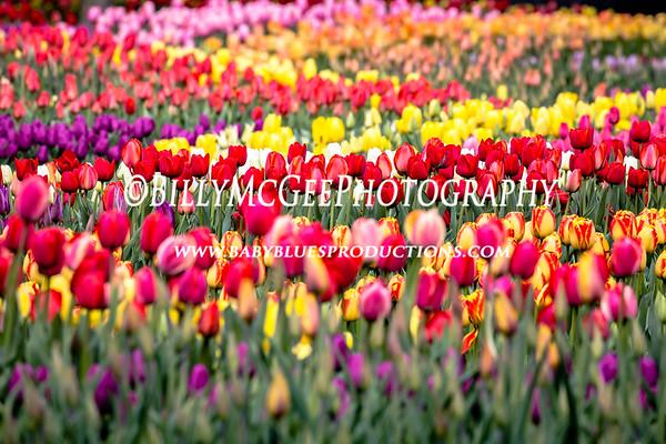 Tulips at Longwood Gardens - 26 Apr 2015