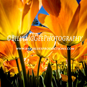 Tulips at Longwood Flower Gardens  - 17 Apr 2016