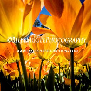 Tulips at Longwood Flower Gardens  - 17 Apr 2016