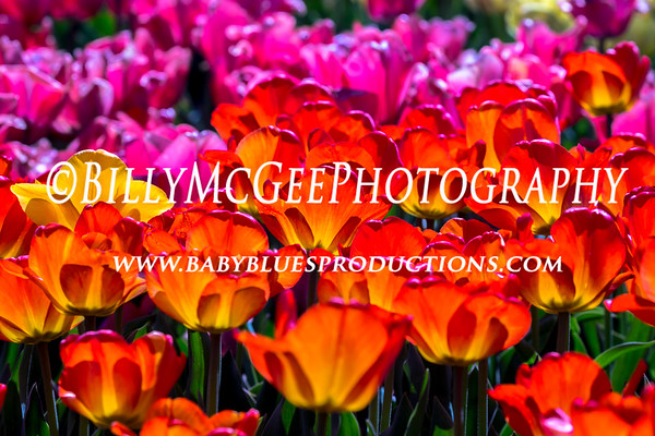 Tulips at Longwood Flower Gardens - 18 Apr 2017