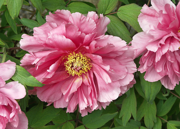A Paradise of Peonies