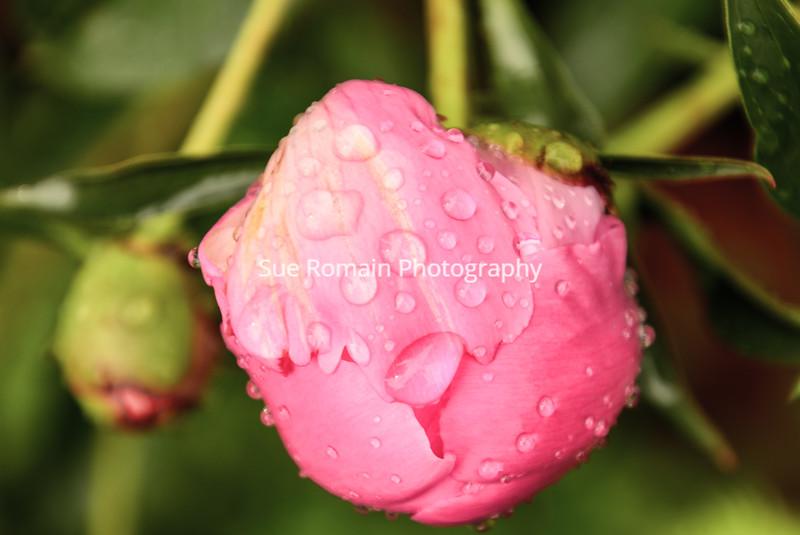 Rainy Peony Bud 2
