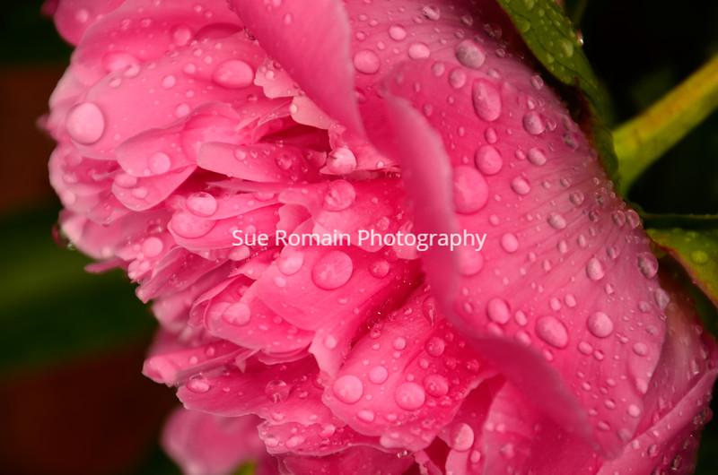 Rainy Peony