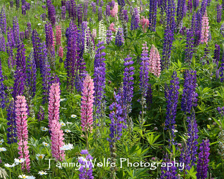A lot of Lupines