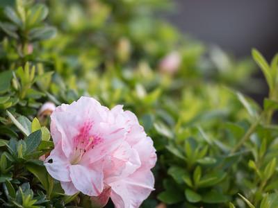 Azalea Garden Bed