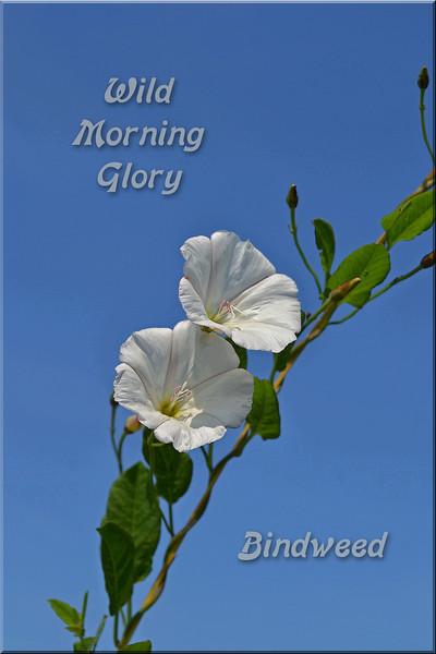 bindweed wild morning glory