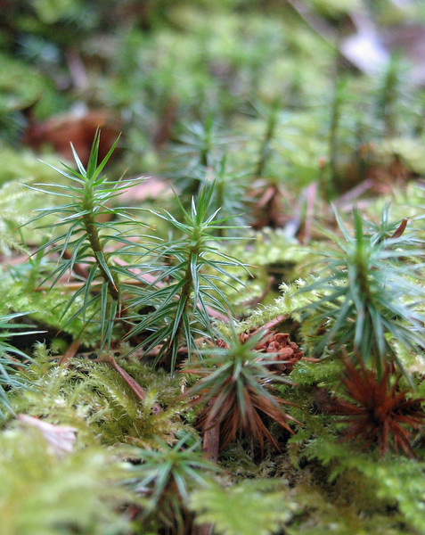 March 20, 2010 - Evergreen seedlings, Mill Creek Falls trail, Rogue River National Forest, Oregon.