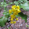 May 30, 2010 - Oregon Grape.  Rogue River National Forest, Oregon.