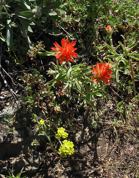 July 5, 2010.  Indian paintbrush at Pilot Rock, Cascade-Siskiyou NM, BLM, OR