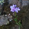 July 5, 2010. Purple flower at Pilot Rock, Cascade-Siskiyou NM, BLM, OR.