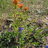 July 5, 2010.  Indian paintbrush and larkspur at Pilot Rock, Cascade-Siskiyou NM, BLM, OR.