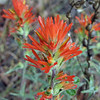May 25, 2012 - Indian paint brush near Iron Gate Res. along the Klamath River, CA.