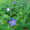 May 12, 2013.  Vinca in Lithia Park, Ashland, OR.