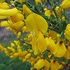 June 17, 2013.  Scotch Broom at Arthur's Seat, Edinburgh, Scotland.
