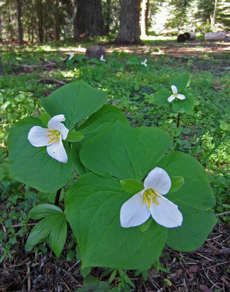 May 14, 2014.  Trillium at Porcupine Gap in Cascade-Siskiyou NM, Oregon.