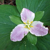 May 24, 2014.  Trillium at Pilot Rock in Cascade-Siskiyou NM, Oregon.
