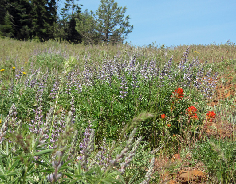 May 24, 2014.  Lupine and Indian Paintbrush at Pilot Rock in Cascade-Siskiyou NM, Oregon.