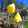 April 13, 2014.  Yellow Bells, Pilot Rock, Cascade-Siskyou NM, Oregon.