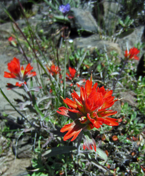 May 14, 2014.  Indian Paintbrush at Porcupine Peak in Cascade-Siskiyou NM, Oregon.