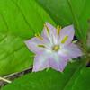 June 7, 2014.  Star Flower at Parsnips Lakes, Cascade-Siskiyou NM, Oregon.