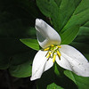 May 14, 2014.  Trillium at Porcupine Gap in Cascade-Siskiyou NM, Oregon.