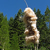 June 7, 2014.  Cat Tail at Parsnips Lakes, Cascade-Siskiyou NM, Oregon.