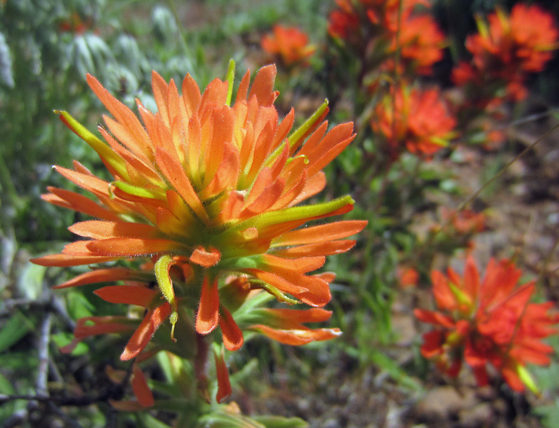 May 24, 2014.  Indian Paintbrush at Pilot Rock in Cascade-Siskiyou NM, Oregon.