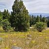 Tree flanked by elderberries, Cascade-Siskiyou NM, July 6, 2019. PhotoCredit - BGM