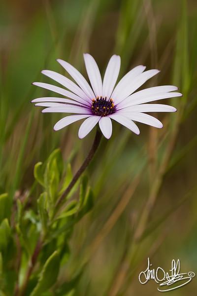 Wild Purple Daisy<br /> Bolsa Chica Wetlands • Huntington Beach, CA