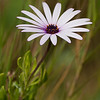Wild Purple Daisy<br /> Bolsa Chica Wetlands • Huntington Beach, CA