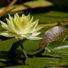 Yellow Water lily