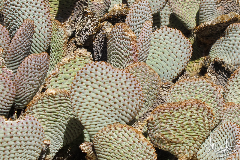 Beavertail Cactus<br /> Joshua Tree, CA