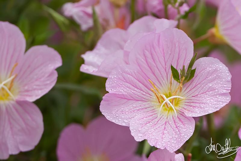 Showy Evening-primrose