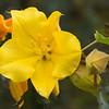 California Flannel Bush flower